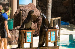 Shows sea lions in the pool, Royalty Free Stock Photography