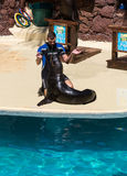 Shows sea lions in the pool,, Oasis Park, Fuerteventura Royalty Free Stock Image