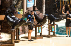 Shows sea lions in the pool,, Oasis Park, Fuerteventura Royalty Free Stock Photo