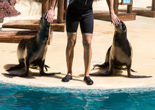 Shows sea lions in the pool,, Oasis Park, Fuerteventura Stock Photo