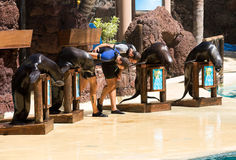 Shows sea lions in the pool,, Oasis Park, Fuerteventura Royalty Free Stock Images