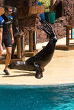 Shows sea lions in the pool,, Oasis Park, Fuerteventura Stock Photography
