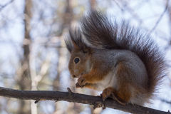 Shows a squirrel on a tree Royalty Free Stock Photography