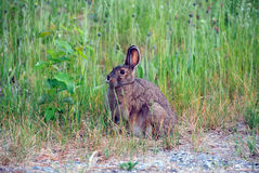 Showshoe Hare stock photography
