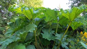 Free Showy And Bright Brazilian Giant-rhubarb Leaves Closeup. Known As Gunnera Manicata, Giant Rhubarb,  Or Dinosaur Food. Royalty Free Stock Image - 153342676