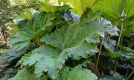 Free Showy And Bright Brazilian Giant-rhubarb Leaves Closeup. Known As Gunnera Manicata, Giant Rhubarb,  Or Dinosaur Food. Royalty Free Stock Photos - 153342728