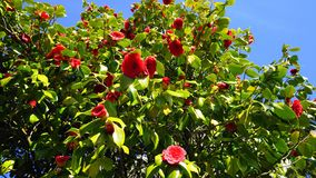 Showy and beautiful red camellia - Camellia japonica tree in bloom. Showy and beautiful red camellia - Camellia japonica tree in bloom, known as common camellia royalty free stock photo
