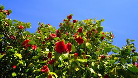 Showy and beautiful red camellia - Camellia japonica tree in bloom. Showy and beautiful red camellia - Camellia japonica tree in bloom, known as common camellia royalty free stock photos