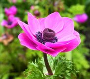 Showy and bright Purple Anemone Coronaria flower on colorful background. Showy and bright Purple Anemone Coronaria flower close up on colorful background royalty free stock photography