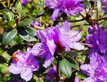 Showy and bright Rhododendron Ramapo flowers close up. Evergreen shrub stock photography