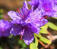 Showy and bright Rhododendron Ramapo flowers close up. Evergreen shrub royalty free stock image