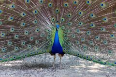 Showy Colorful Peacock Stock Photo