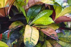 Showy dense multicolored foliage of tropical house plant ficus codiaeum variegatum. Natural background stock photos