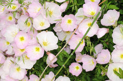 Showy Evening Primrose Royalty Free Stock Photo