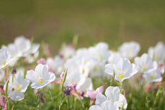 Showy Evening-primrose. Horizontal photo of showy evening-primrose wildflower Stock Images