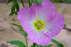 Showy Evening Primrose Royalty Free Stock Image