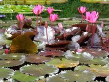 Pink aquatic lily flower in blossom. The showy, fragrant, solitary flowers are borne at or above the water surface on long stalks that are attached to the Stock Photo