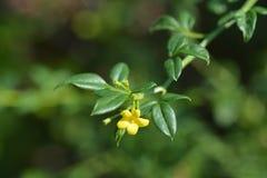 Showy jasmine. Latin name - Jasminum floridum subsp. giraldii stock photos
