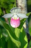 Showy Lady's Slipper (Cypripedium reginae) Stock Photos