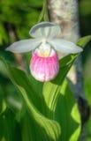 Showy Lady's Slipper (Cypripedium reginae). In wild Stock Photos