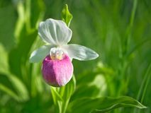 Showy Lady`s-slipper - Cypripedium reginae - Minnesota State Flower. Showy Lady`s-slipper - Cypripedium reginae - also known as Pink-and-white Lady`s-slipper or stock image