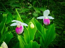 Showy Lady`s-slipper - Cypripedium reginae - Minnesota State Flower. Showy Lady`s-slipper - Cypripedium reginae - also known as Pink-and-white Lady`s-slipper or Stock Photos