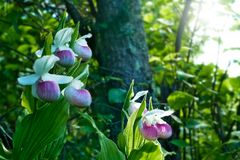 Showy Lady`s-slippers - Cypripedium reginae - Minnesota State Flower. Showy Lady`s-slippers - Cypripedium reginae - also known as Pink-and-white Lady`s-slipper royalty free stock image