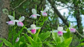Showy Lady`s-slippers - Cypripedium reginae - Minnesota State Flower. Showy Lady`s-slippers - Cypripedium reginae - also known as Pink-and-white Lady`s-slipper royalty free stock images