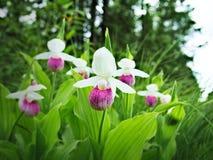 Showy Lady's-slipper - Cypripedium reginae - Minnesota State Flower. Showy Lady's-slipper - Cypripedium reginae - Minnesota State Flower - pink and Stock Photos