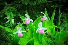 Showy Lady's-slipper - Cypripedium reginae - Minnesota State Flower in the wild. Showy Lady's-slipper - Cypripedium reginae - Minnesota State Royalty Free Stock Image