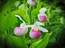 Showy Lady's-slipper - Cypripedium reginae - Minnesota State Flower in the wild. Showy Lady's-slipper - Cypripedium reginae - Minnesota State Stock Photo