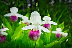 Showy Lady's-slipper - Cypripedium reginae - Minnesota State Flower in the wild. Showy Lady's-slipper - Cypripedium reginae - Minnesota State Royalty Free Stock Photography
