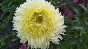 Photo of a terry Aster flower. royalty free stock photo