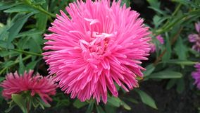 Photo of a terry Aster flower. stock photography