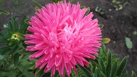Photo of a terry Aster flower. royalty free stock photography