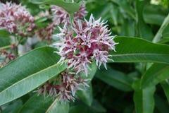 Showy Milkweed - Idaho Royalty Free Stock Images