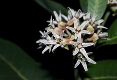 Showy Milkweed, Yosemite. The Showy Milkweed is in full bloom in the valley of Yosemite National Park. Asclepias speciosa is a milky-sapped perennial plant in royalty free stock photo