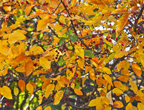 Showy mountain-ash tree on fall with red berries and golden leav. Showy Mountain Ash / Rowan (sorbus decora) also called dogberry,  native to the USA and Canada Stock Images