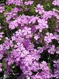 Showy Phlox - Phlox speciosa Royalty Free Stock Photography