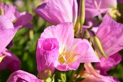 Showy Pink detailed Flower blooms. Pretty showy Pink detailed Flower blooms royalty free stock images