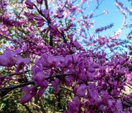 The showy redbud flowering tree branch stock images