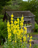 Showy stand of mullein. Yellow cultivated Verbascum, Mullein, stands tall in front of a rustic garden shed Stock Photos