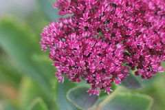 Showy Stonecrop Stock Photography