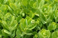 Showy stonecrop. Flower buds - Latin name - Hylotelephium spectabile Sedum spectabile stock images