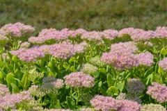 Showy stonecrop. Flowers - Latin name - Hylotelephium spectabile Sedum spectabile royalty free stock photography
