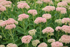 Showy stonecrop flowers or Sedum spectabile or Hylotelephium spectabile. On flowerbed royalty free stock photo
