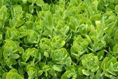 Showy stonecrop. Flower buds - Latin name - Hylotelephium spectabile Sedum spectabile royalty free stock image