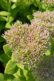 Showy stonecrop. Flowers - Latin name - Hylotelephium spectabile Sedum spectabile stock photos