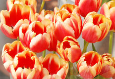 Showy tulips. A bunch of colorful showy tulip flowers royalty free stock image