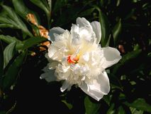 Showy White Peony Blossom. The peony is a flowering plant in the genus Paeonia, the only genus in the family Paeoniaceae. They are native to Asia, Europe and stock photos
